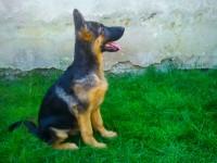canisa Nizza Hund vinde pui ciobanesc german cu pedigree